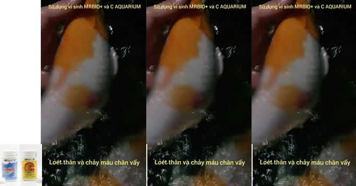 Chữa tấy đỏ, chảy máu vây vảy cá koi bằng MRBIO